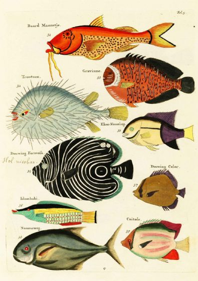 Renard, Louis: Illustrations of Marine Life Found in Moluccas (Indonesia). Art Print/Poster (4971)